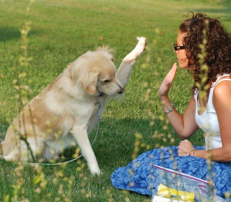 Easiest chiens pour former: races qui apprennent plus vite que d`autres chiens