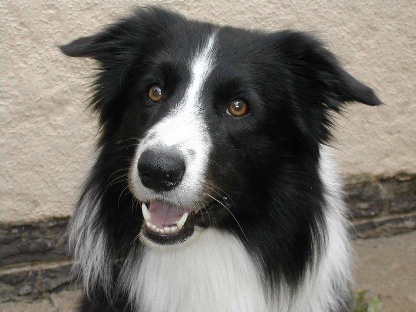 collie Formé
