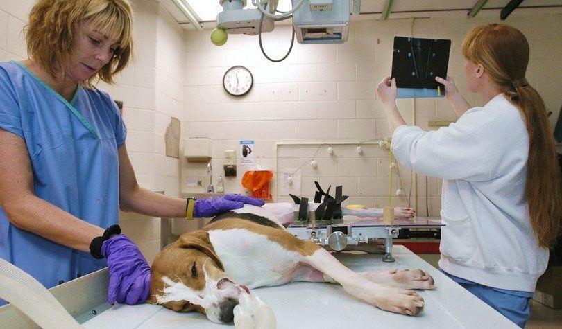 Agrandi coeur chez les chiens: cardiomyopathie dilatée expliqué