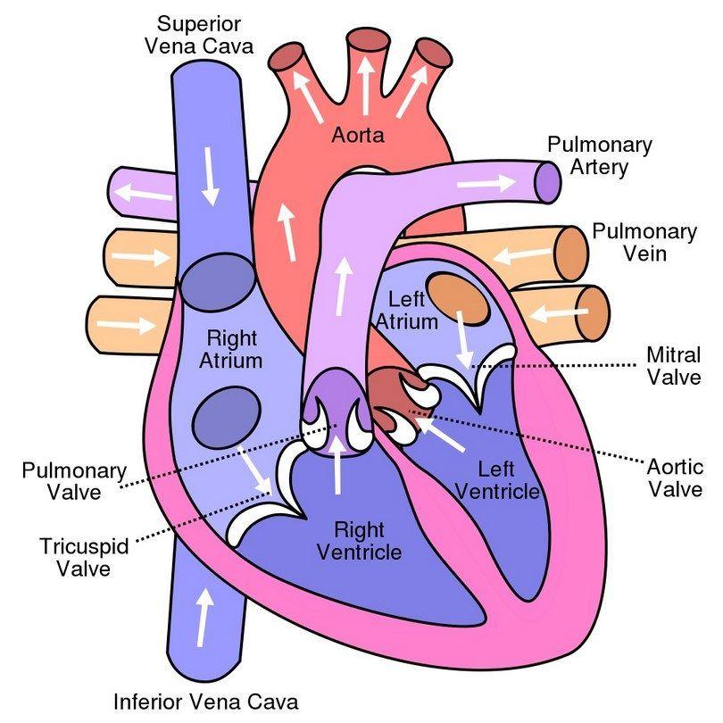 diagramme de coeur de chien