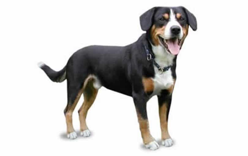 Entiebucher chien de montagne