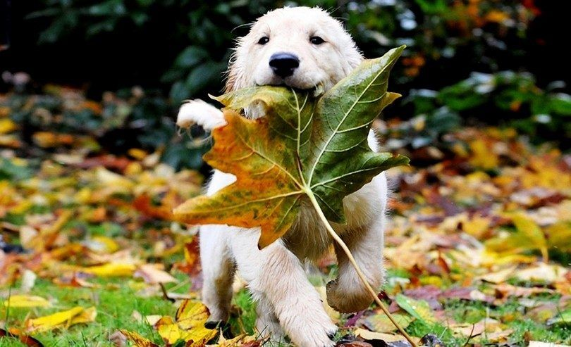Puppy palying avec une feuille