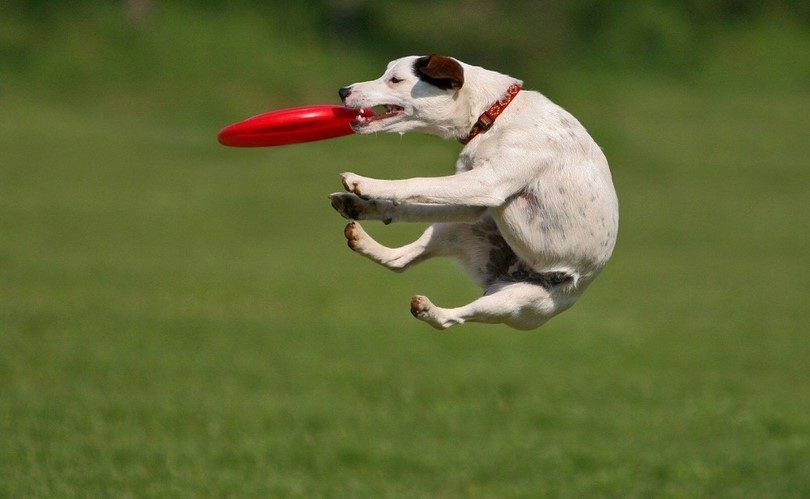 Chien jouant à l`extérieur avec un Frisbee