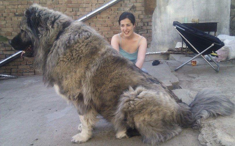 Extra grandes races de chiens: des géants dans la stature mais, chiots brouillés chauds au coeur