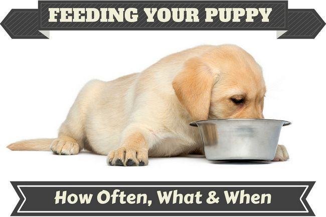 Un chiot Labrador alimentation à partir d`un bol en métal