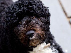 Première obama bo chien va à un régime