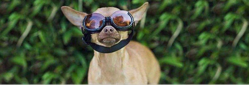 Dog prépare pour un vol