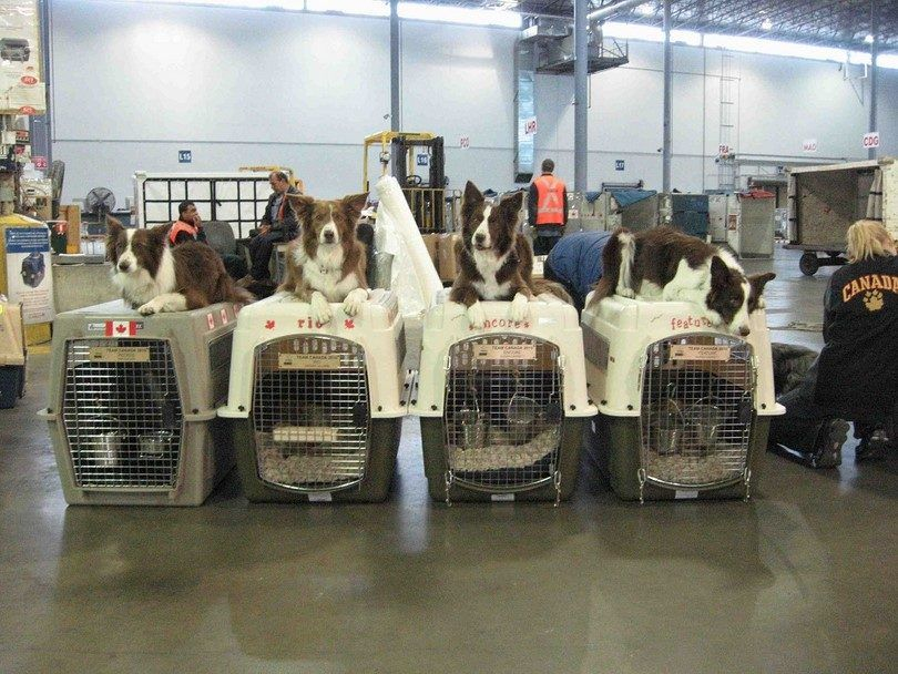Les chiens dans la cargaison