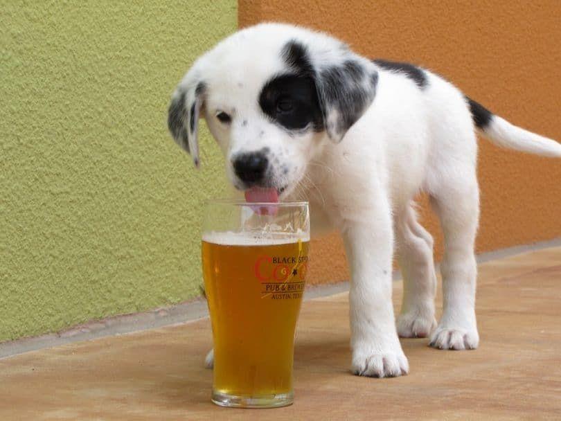 chien d`alcool