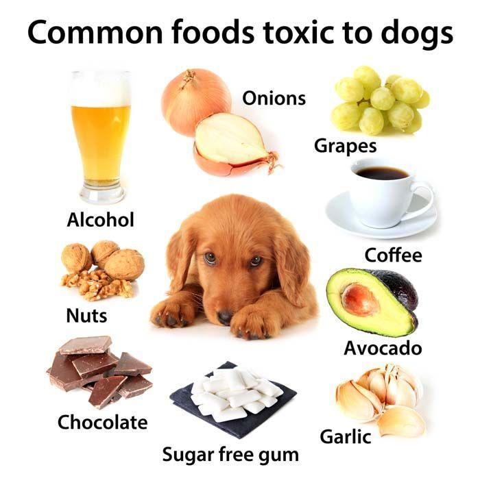 Aliments chiens ne doivent pas manger - Aliments humaines qui sont dangereux pour les chiens