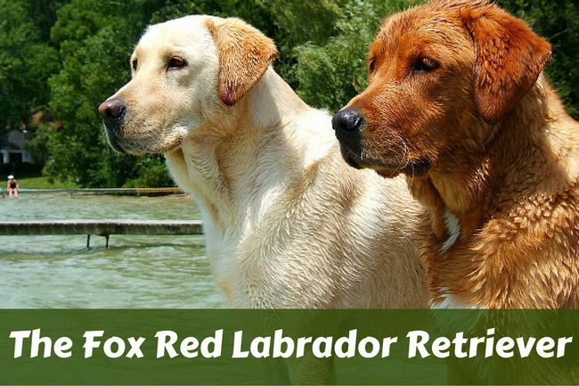 Fox rouge labrador retriever