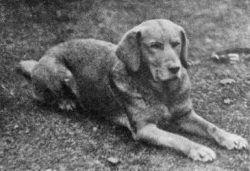 Une vieille photo noir et blanc de Ben de Hyde, le premier Labrador jaune jamais enregistré.