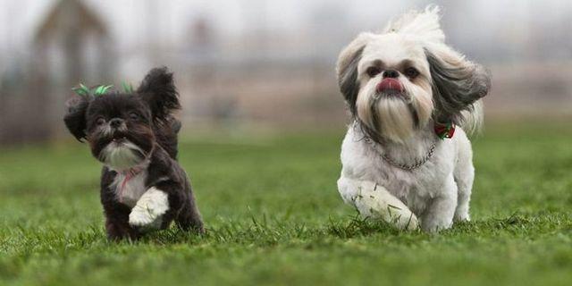 La thérapie génique pour les chiens pourrait aider les humains atteints de dystrophie musculaire