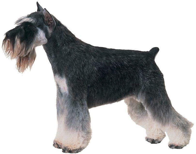 race de chien de schnauzer géant