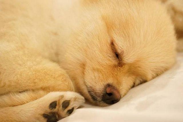 Bon garçon, bonne nuit: des moyens pour aider les chiens de sommeil