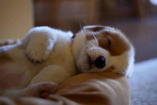 Comment obtenir un chiot à dormir toute la nuit 2