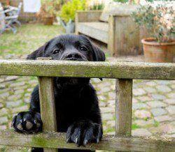 Un chiot escalade une clôture pour illustrer chiot épreuvage votre jardin