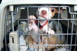 Chihuahua chiot dans sa cage