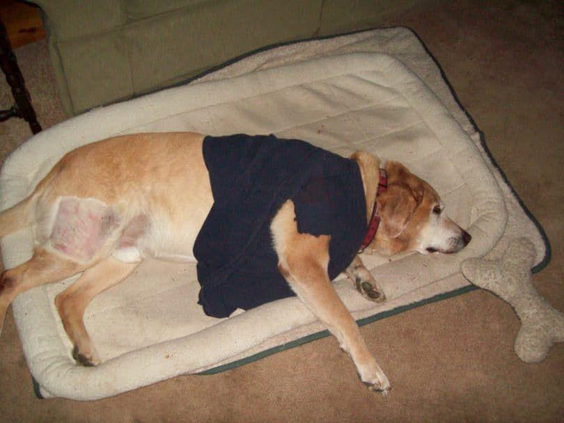 chien diagnostiqué avec hemangiosarcoma