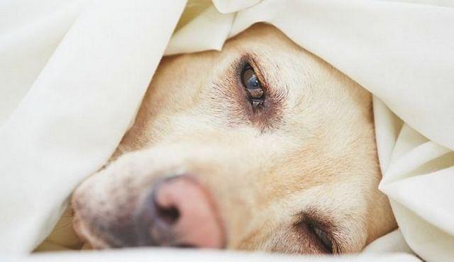 Hémorragique gastro-entérite chez les chiens: ce que vous devez savoir