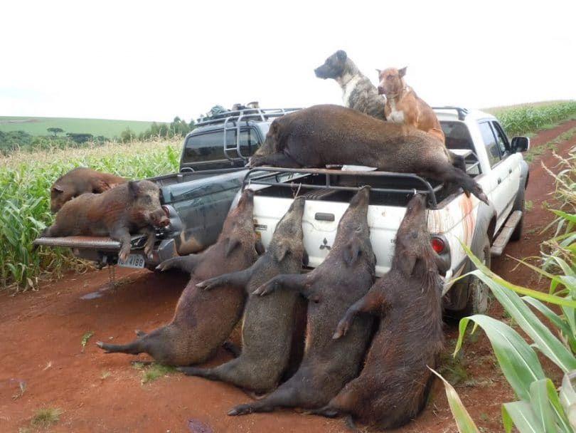 chasse Hog