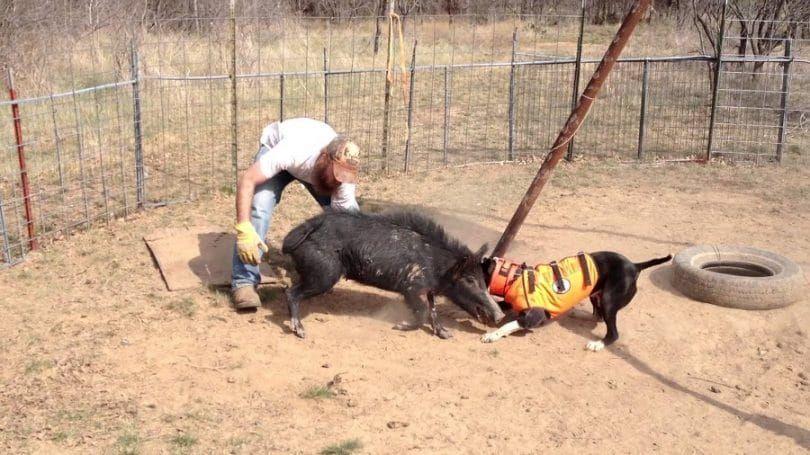 formation de chien Hog