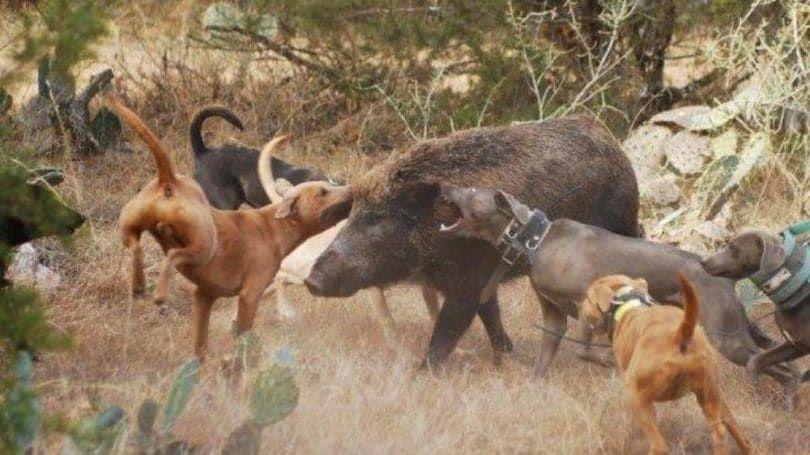 Rhodesian Ridgeback avec porc