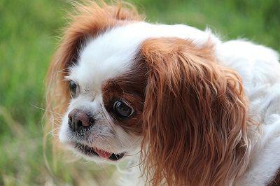 Les remèdes maison pour chien mauvaise haleine