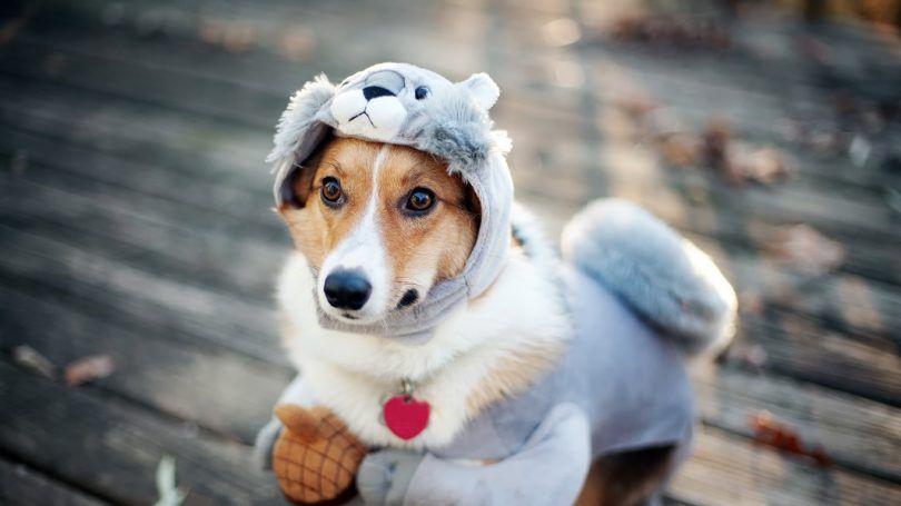 costumes pour chiens faits maison: top 5 idées créatives diy pour les fêtes