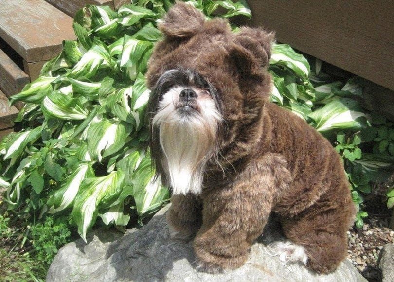 costume de chien Teddy bear