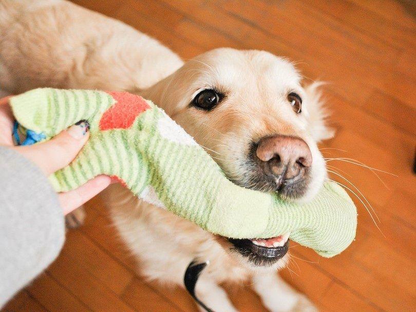 Faire un jouet pour votre chien de chaussettes