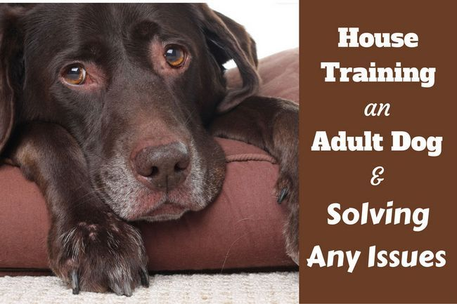 Maison de la formation d`un chien adulte: Un choc Lab personnes âgées couché sur un lit
