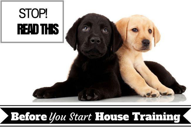 Maison de formation de base - Deux puppys de laboratoire sur fond blanc