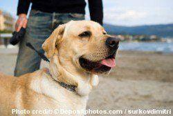 Un labrador jaune en laisse sur une plage