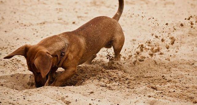 Comment puis-je obtenir mes chiens pour arrêter de creuser?