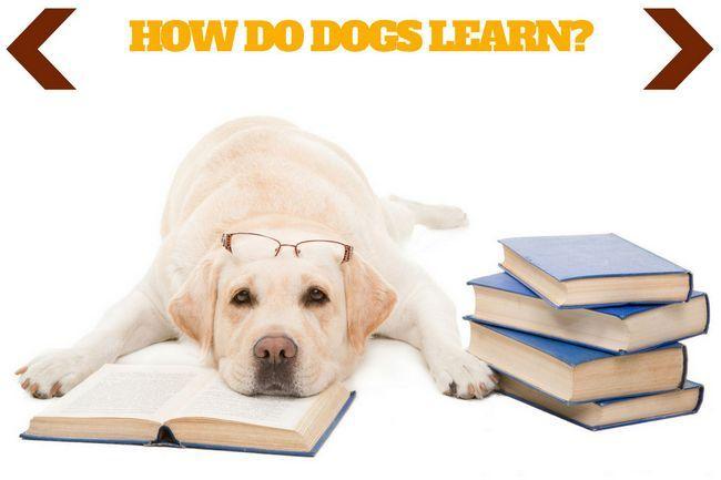 Comment les chiens apprennent écrits au-dessus d`un labrador jaune couché sur un livre ouvert