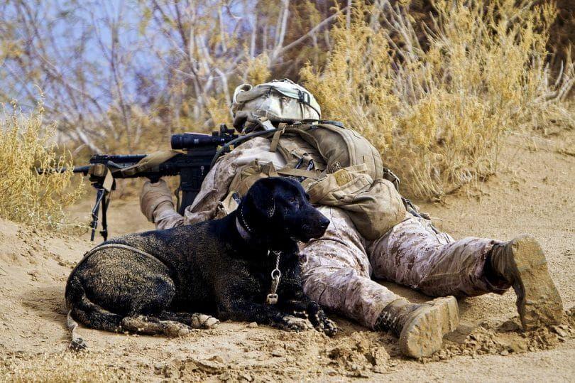Labrador dans le combat assiting