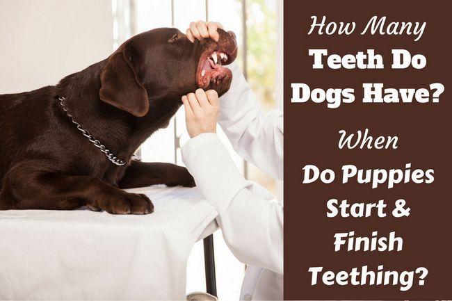 Combien de dents les chiens ont-ils? Quand les chiots perdent leurs dents?