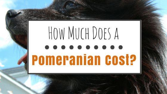 Combien coûte un pomeranian?