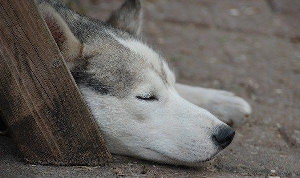 chien de sommeil
