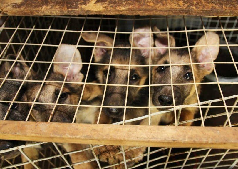 Les chiots dans la cage à l`abri