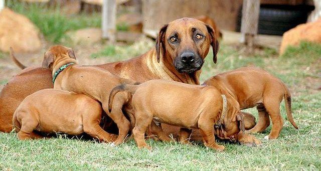 chien Brown adulte extérieur entouré de chiots