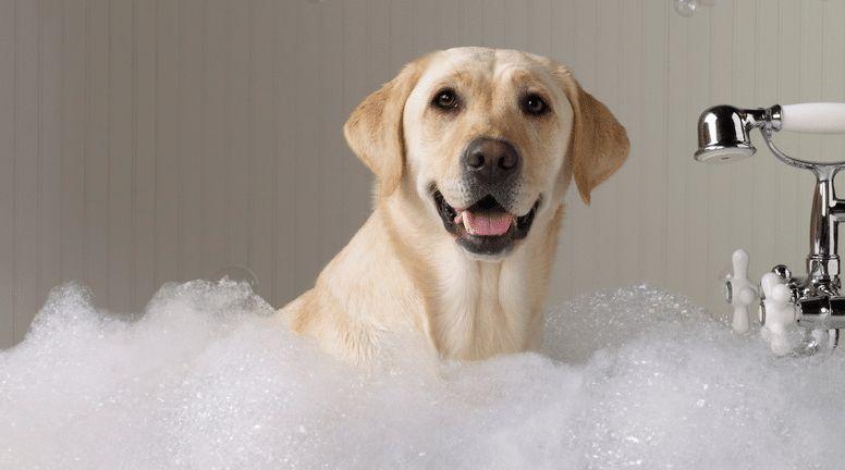Comment se baigner un chien correctement: les procédures de lavage