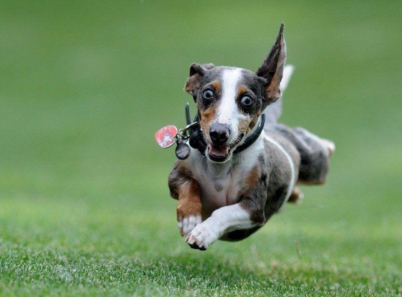 chien excité Hyper