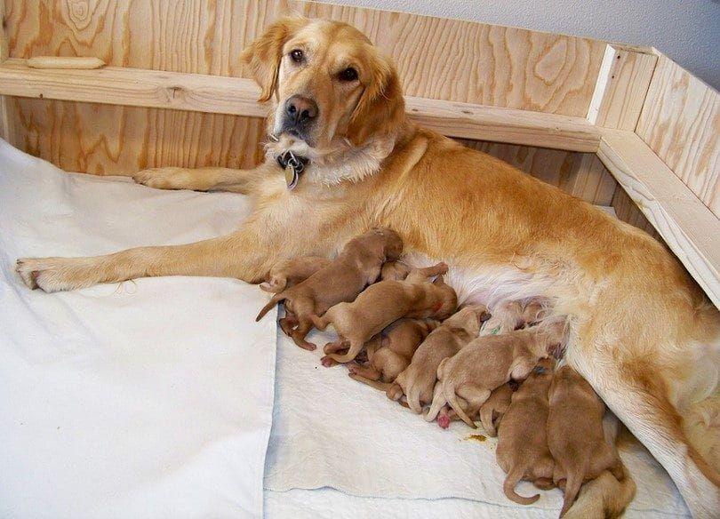 Gardez la mère et les chiots ensemble