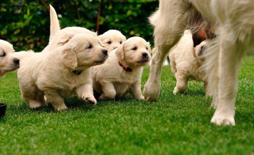 Maman chien et chiots