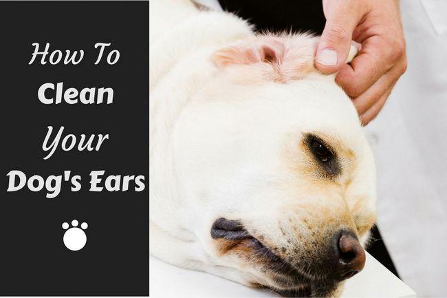 Comment nettoyer vos oreilles des chiens écrits à côté d`un laboratoire ayant son oreille gauche inspecté