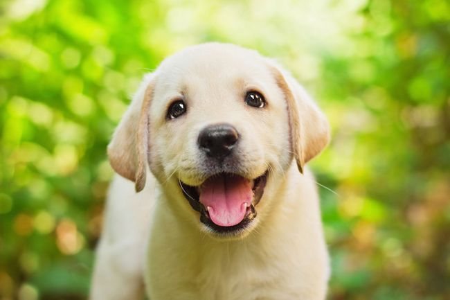 Un visage jaune labrador chiot smiley