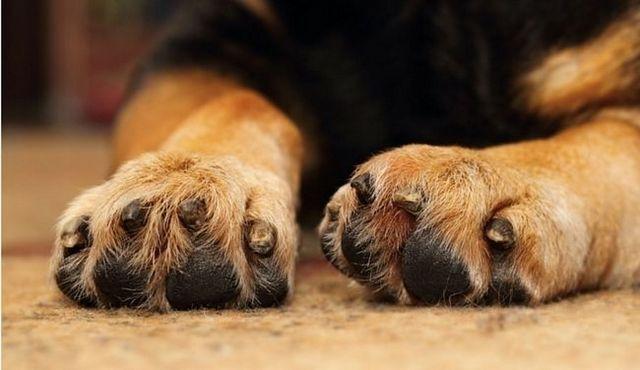 Comment couper les ongles de chiens: des conseils sur un processus délicat