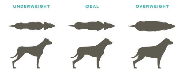 poids chien apperance